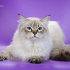 Невский маскарадный кот приглашает на вязку
