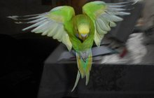 Самцы волнистых попугаев