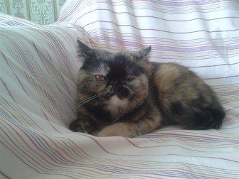 Просмотреть фото  кошечка экзотической породы ищет котика на вязку 33267630 в Рязани