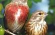 Продаю певчих птиц. сидят с весны в вольере.