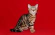 Питомник шотландских вислоухих кошек Art`s