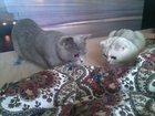 Изображение в Кошки и котята Вязка Британочка Злата 2 года (окрас голубой) ищет в Ростове-на-Дону 0