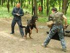 Изображение в   Дрессировка собак всех пород по курсам ОКД в Ростове-на-Дону 300