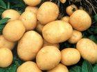 Увидеть foto Разное Картофель оптом 33682722 в Курске