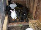 Увидеть фото Другие животные Продаю кроликов Фландр, Ризен - гиганты, Калифорнийские от 1,5 месяца Кролики 35558805 в Зернограде