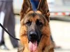 Фото в Собаки и щенки Продажа собак, щенков Предлагается для вязок опытный кобель.   в Ростове-на-Дону 1
