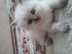 Изображение в   Продаются невские маскарадные котята. Очень в Ростове-на-Дону 0