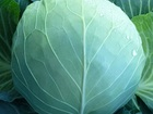 Скачать бесплатно фотографию Разное Семена белокочанной капусты KS 29 F1 фирмы Китано 36626835 в Ростове-на-Дону