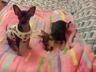 Изображение в Собаки и щенки Продажа собак, щенков СРОЧНО РАСПРОДАЖА, продам щенков мальчика в Ростове-на-Дону 0