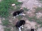Фотография в Собаки и щенки Продажа собак, щенков отдам щенков в Ростове-на-Дону 0
