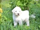 Изображение в Собаки и щенки Продажа собак, щенков Продается щенок Пули, мальчик белого окраса. в Ростове-на-Дону 40000