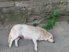 Просмотреть фотографию Продажа собак, щенков Щенки в добрые руки 37033103 в Ростове-на-Дону