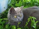 Фото в Кошки и котята Вязка Чистокровный шотландец приглашает кошечек в Ростове-на-Дону 0