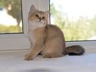 Фото в Кошки и котята Продажа кошек и котят Британские котята (кошечки)достойное происхождение в Ростове-на-Дону 19000