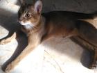 Изображение в Кошки и котята Вязка Опытный кот аби, ласковый и воспитанный приглашает в Ростове-на-Дону 0