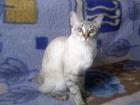 Изображение в Кошки и котята Вязка Кошка меконгский бобтейл ищет кота , этой в Ростове-на-Дону 0