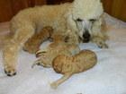 Фотография в Собаки и щенки Продажа собак, щенков Резерв щенков пуделя карликового. Окрас светлый в Ростове-на-Дону 8000