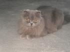 Фото в Кошки и котята Вязка Шотландская вислоухая ищет прямоухого котика, в Ростове-на-Дону 0