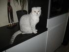 Изображение в Кошки и котята Вязка вислоухая кошечка домашняя без опыта, исполняется в Ростове-на-Дону 500