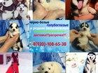 Фото в Собаки и щенки Продажа собак, щенков ХАСКИ щеночков яркого черно-белого и редчайшего в Ростове-на-Дону 0