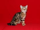 Фотография в   Питомник шотландских вислоухих кошек Art`s в Ростове-на-Дону 8000