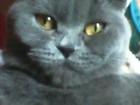Фотография в Кошки и котята Вязка Вислоухая британской породы кошечка ищет в Ростове-на-Дону 1000