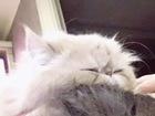 Просмотреть фотографию  вязка с чистокровным, породистым, персидским котом 39097928 в Ростове-на-Дону