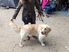 Новое фотографию Вязка собак Вязка 39100369 в Ростове-на-Дону