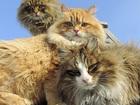 Смотреть фотографию Вязка кошек Ищем кота для вязки молодой кошечке 42036577 в Таганроге