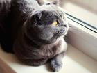 Увидеть фотографию Вязка кошек Шотландец для вязки на вашей территории 67689473 в Ростове-на-Дону