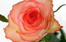 Срез для букетов (Розы)