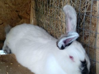 Новое foto Грызуны Продаю Калифорнийских кроликов 33751543 в Ростове-на-Дону