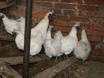 Скачать бесплатно foto  Инкубационные яйца кур китайская шелковая аборигенная, 34761879 в Ростове-на-Дону