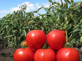 Уникальное изображение Разное Семена томата АНИТА F1 (KS 829) фирмы Китано 36626849 в Ростове-на-Дону