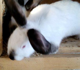 Изображение в Домашние животные Грызуны Продам Калифорнийских кроликов 5 месяцев в Ростове-на-Дону 500