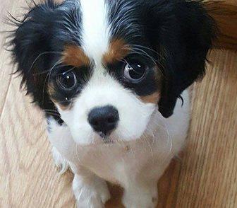 Фото в Собаки и щенки Продажа собак, щенков Предлагаем Чистокровных щенков Кавалер Кинг в Москве 25000