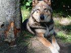 Фотография в   Собачка ищет хороших хозяев, ласковый, игривый, в Рыбинске 0