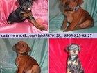 Фотография в Собаки и щенки Продажа собак, щенков Карликового пинчера (Цвергпинчера) красивеньких в Рыбинске 8500