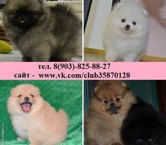 Изображение в Собаки и щенки Продажа собак, щенков Разных окрасов щенки померанского шпица! в Рыбинске 0