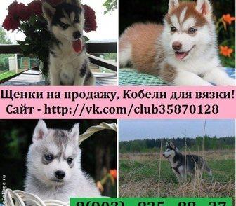 Изображение в Собаки и щенки Продажа собак, щенков Чистокровные щенки хаски по минимальным ценам в Рыбинске 0