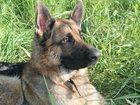 Новое фото Вязка собак кобель (почти 3 года) ищет подружку для вязки, воспитанный 34322483 в Салавате
