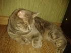 Фото в Кошки и котята Вязка Британская кошка окрас голубо-тигровый ищет в Сальске 0