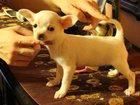 Фото в Собаки и щенки Продажа собак, щенков Предлагаю гладкошёрстную девочку чихуахуа в Самаре 0
