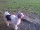 Фотография в Собаки и щенки Продажа собак, щенков Отдам срочно пуховку с родословной. Дата в Самаре 0