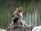 Изображение в Кошки и котята Вязка Предлагается для вязки опытный и ласковый в Самаре 5000