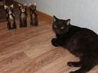 Фото в Кошки и котята Вязка Британская короткошерстная кошка окраса BRI в Самаре 0