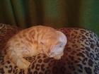 Смотреть фото  Кот на вязку 38841453 в Самаре