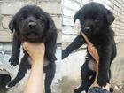 Просмотреть фотографию Отдам даром - приму в дар 6 Прекрасных щенят, Отдам в хорошие руки, 43610921 в Самаре