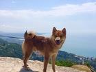 Скачать бесплатно фотографию Вязка собак Сиба-ину кобель для вязки 66442986 в Самаре