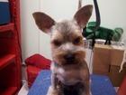 Увидеть фотографию Стрижка собак Стрижка собак и кошек в Самаре и Алексеевке 66544519 в Самаре